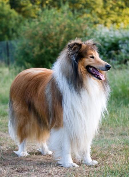 Collie hace referencia a muchas razas de perro, con origen en Escocia y el norte de Inglaterra.