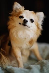 Los chihuahueños son mejor conocidos por su tamaño pequeño y sus largas y rectas orejas y sus pelaje corto. El AKC (American Kennel Club) reconoce dos variedades de chihuahueños: el de pelo largo y el de pelo corto. Muchos chihuahueños de pelo corto tienen pelo muy delgado, pero otros tienen un pelo muy denso y grueso