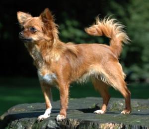Juguetes que representan perros parecidos a las variedades de chihuahueño