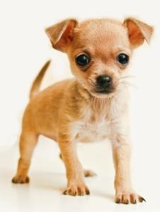 La historia de la raza es incierta, sin embargo se suele afirmar que es una raza de México. La hipótesis más común y más probable afirma que los chihuahueños son descendientes del techichi, un perro de compañía en la civilización tolteca de México.
