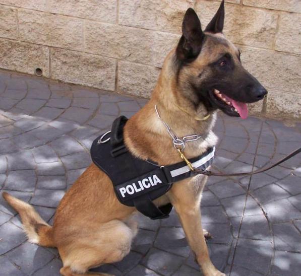 Perro policía se denomina a los perros utilizados y adiestrados con fines en el uso para la seguridad pública e investigación policíaca.