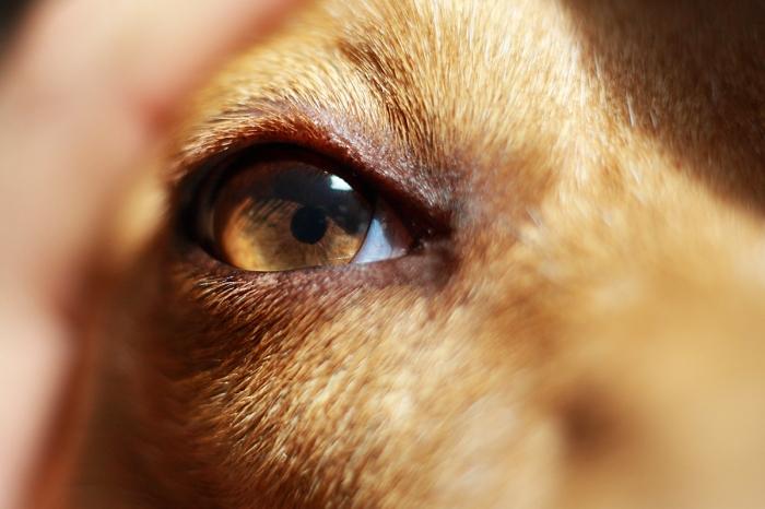 Como la mayoría de mamíferos, los perros son dicromatos y tienen una visión en color equivalente al daltonismo rojo-verde en los humanos.