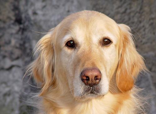El contacto visual prolongado entre las mascotas y sus dueños propició un aumento de oxitocina en los cerebros de ambas especies