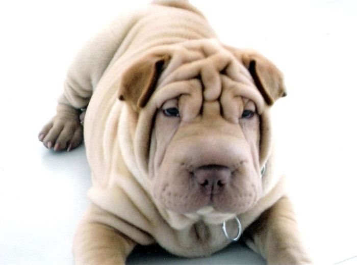 El Shar Pei es generalmente un perro de compañía, tranquilo e independiente.