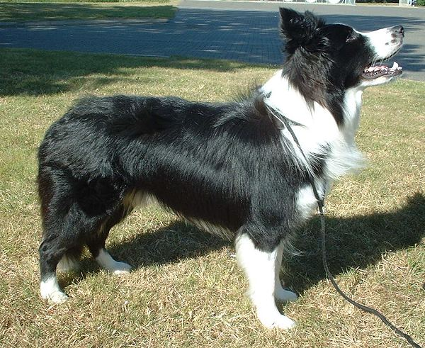 Border_Collie_600